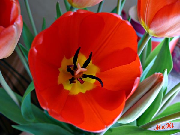 Tulpen rot © Martina Hildebrand